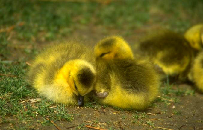 baby animal days ducks